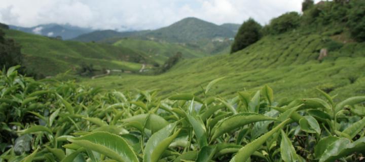 Co se skrývá v čajových sáčcích?